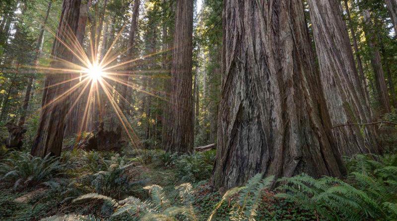 Le sequoie giganti di Redwoods, California
